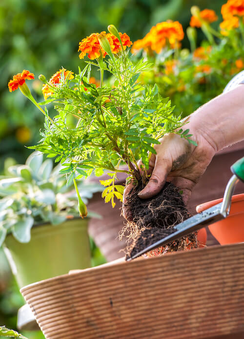 marigold flower being planted to give deck a pop of color